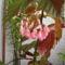 Virágzik a pettyes begóniám