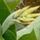 Canna bimbó
