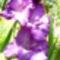 Lila kardvirág