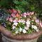 Pistike, szőlővirág, kékike...