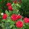 piros rozsa