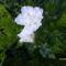 telt virágu kerti hibiszkusz