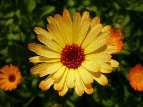Bohocvirág