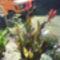 Kanna virág piros
