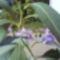 Kék leander    Éva virág