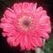 gerbera lila