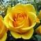 Jimmy kedvenc virága a sárgarózsa
