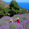Levendula, a sziget tipikus növénye