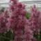 lila orchideák