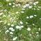 Virágzó mező