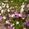 Virágzó petunia