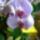 Cili_orchideai_852284_35941_t
