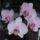 aldottkati kedvenc orchideái