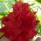 hibiskus japan rozsa