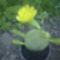 medvetalp kaktusz virágzik