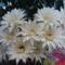 Kaktuszom rekord virágzása : 11 !!!