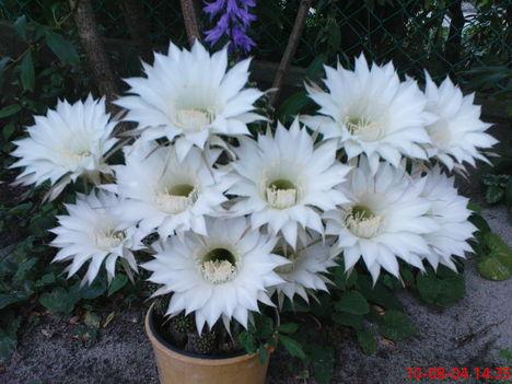 Kaktuszom rekord virágzása : 11!!!