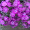 Képek kertemböl , virágaim,stb  3