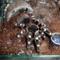 Acanthoscurria geniculata 0.1.0