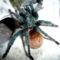Chromatoplema cyaneopubescens 0.1.0