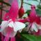 képek kertemből-fukszia