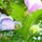 képek kertemből-mályva fa