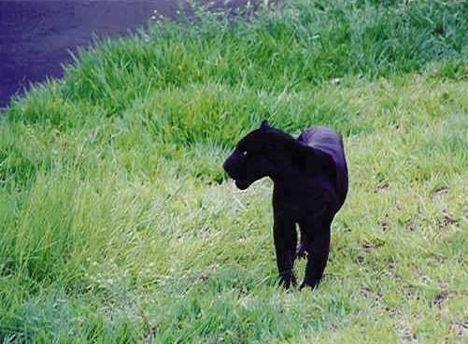 jaguarblack3