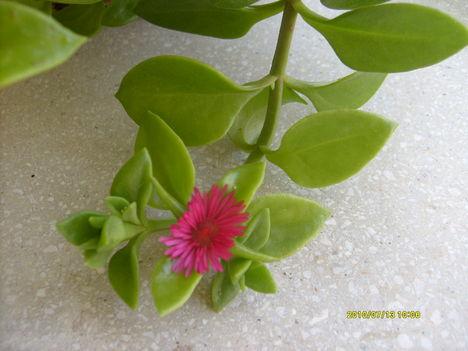 jegecske virága