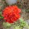 különleges virágú muskátli