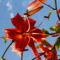 Mocsári liliom - Lilium superbum
