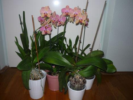 orchidea 6 - 2010 szeptember