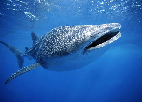 whale-shark-with-fishxxx
