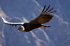 Condor Arequipa