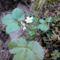 Virágzik újból a szamóca