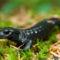 alpesi szalamandra 1