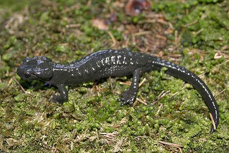 alpesi szalamandra 2