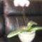 Orhídea