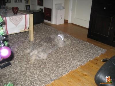 szőnyegbe olvadó kutyuli