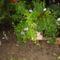 Még nyílnak: petúnia, pistike, oroszlánszáj, szőlővirág