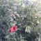 gránátalma és virága