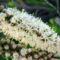 Teafa - virág