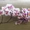 A számkivetett bocis lepkeorchidea (1.) 2010-04-22