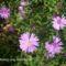 Sziklakerti növény virágzóban