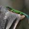 madagaszkári pávaszemes gekkó 2