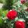 Marika virágai