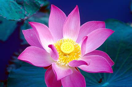 Kínai Lótuszvirág.