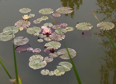 Rózsaszin Tavirózsa Kína.