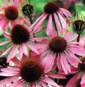 Kasvirág (Echinacea spp