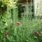 Rozmaring, vegyes virágágyban az udvarban