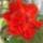 Pejak Gizella virágai